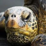 Big Island turtles