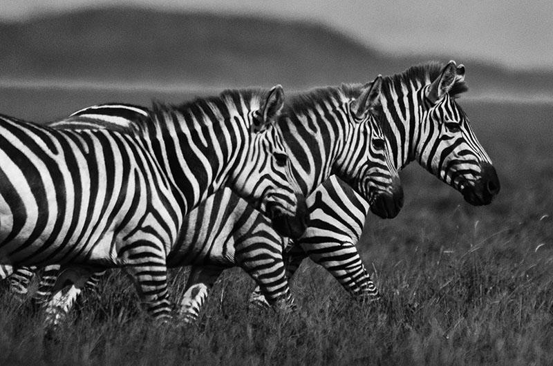 PhotoFly Travel Club | Tanzania Zebras | PhotoFly Travel Club