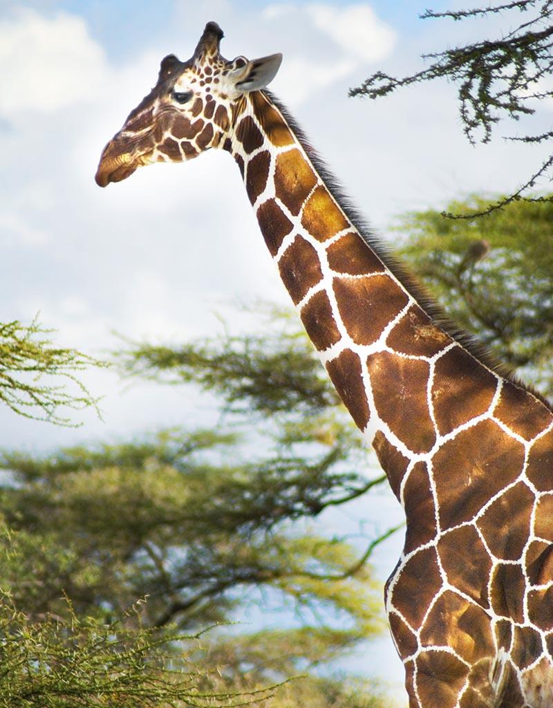 PhotoFly Travel Club | shaba giraffe | PhotoFly Travel Club