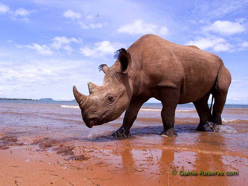 black rhinoceros safari