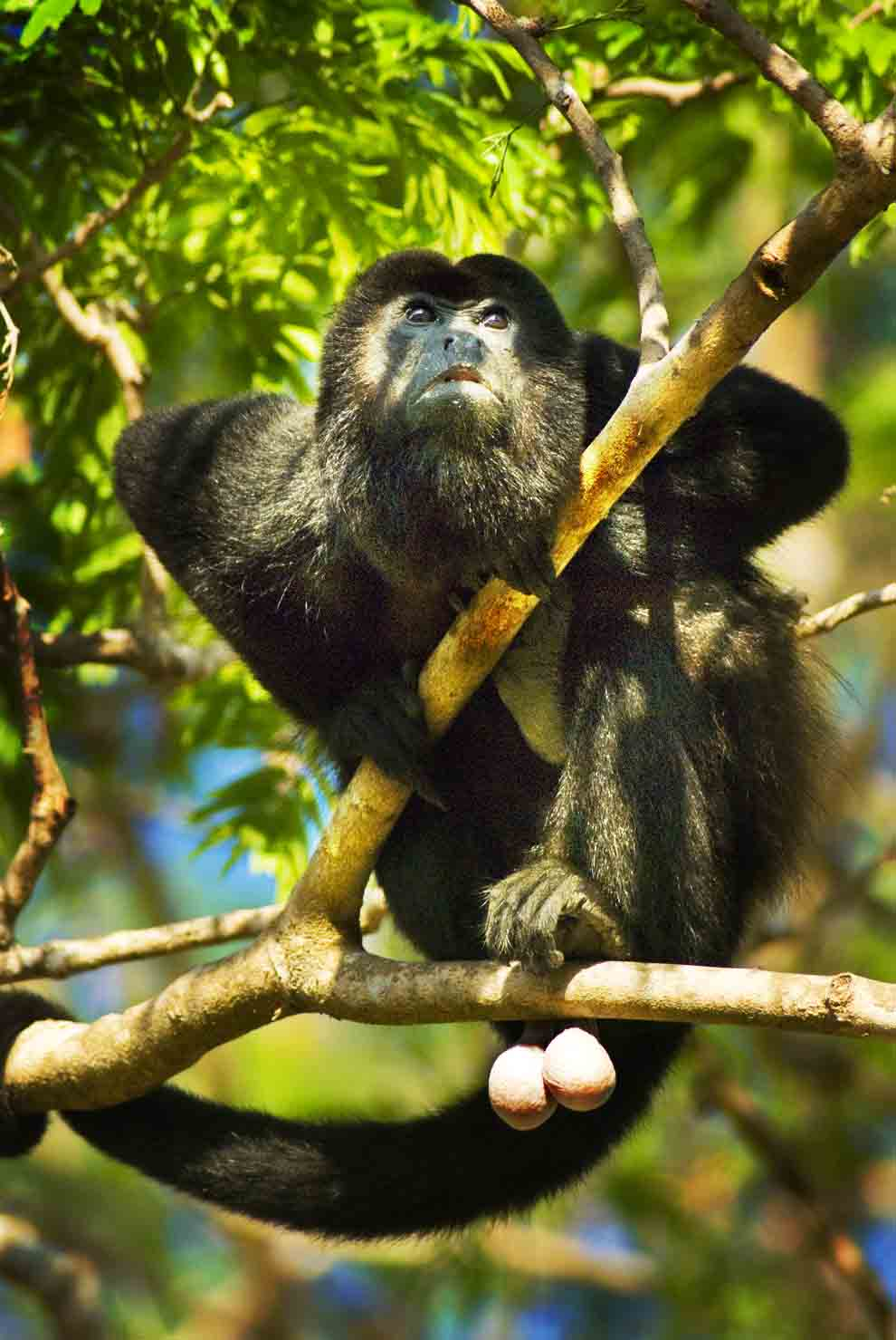 PhotoFly Travel Club   Howler Monkey   PhotoFly Travel Club