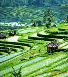 rice fields asia