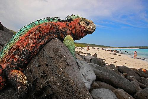galapagos iguanas