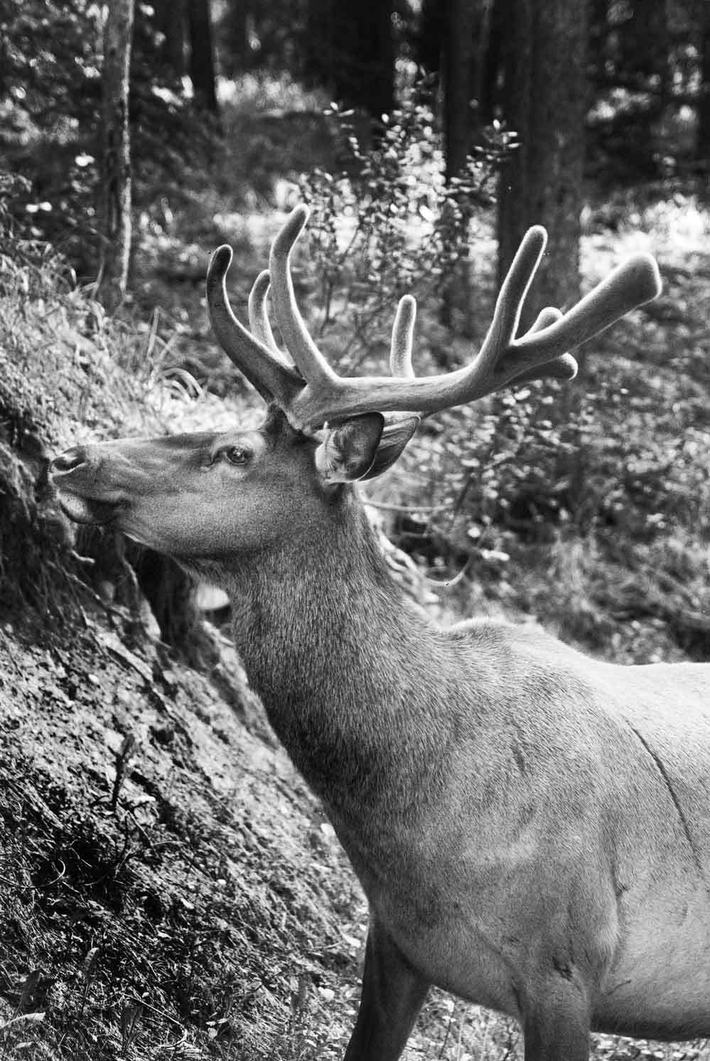 PhotoFly Travel Club | Caribou 2 BW WP | PhotoFly Travel Club