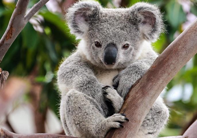 PhotoFly Travel Club | koala | PhotoFly Travel Club