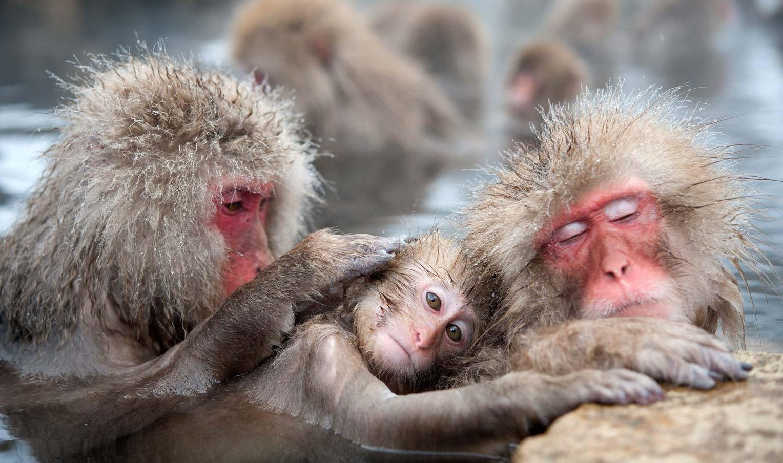 PhotoFly Travel Club | Image by Koji Ishii Snow-monkeys-in-Japan | PhotoFly Travel Club