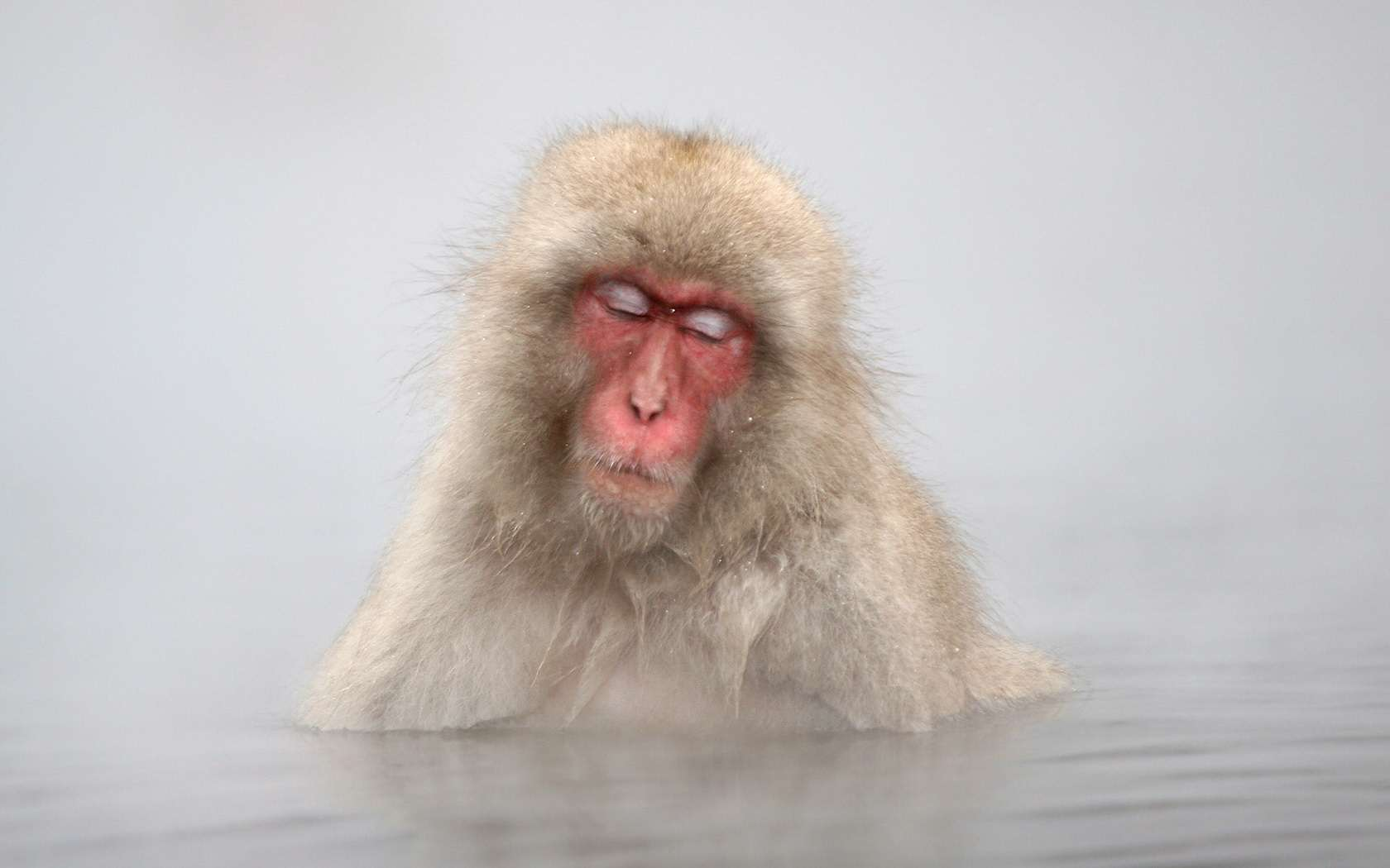 PhotoFly Travel Club | snow-monkeys-hd-wallpapers-download-6 | PhotoFly Travel Club