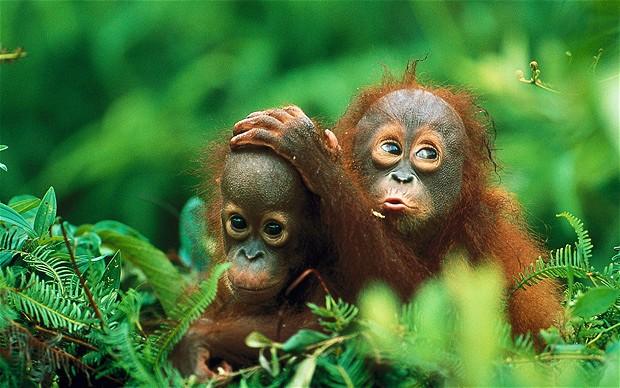 baby orungutans