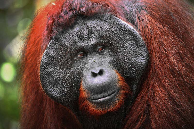 PhotoFly Travel Club | Alpha-male of the Orangutan. | PhotoFly Travel Club