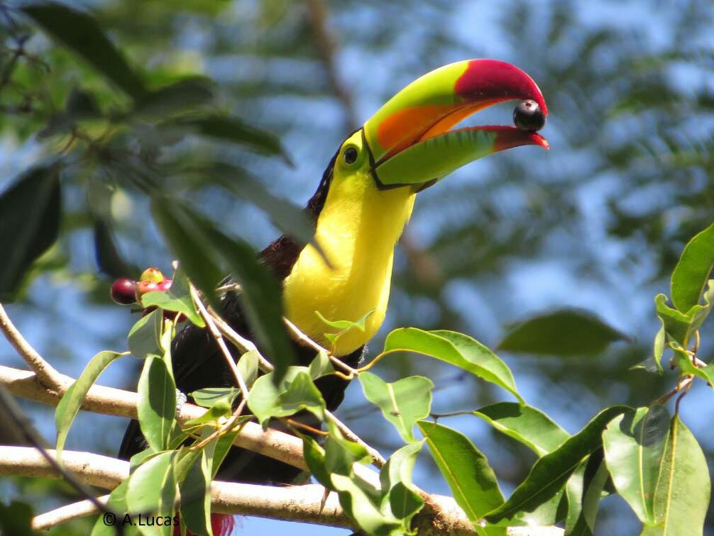 PhotoFly Travel Club   Ixpanpajul toucan   PhotoFly Travel Club
