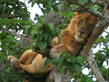 PhotoFly Travel Club | tree lion | PhotoFly Travel Club