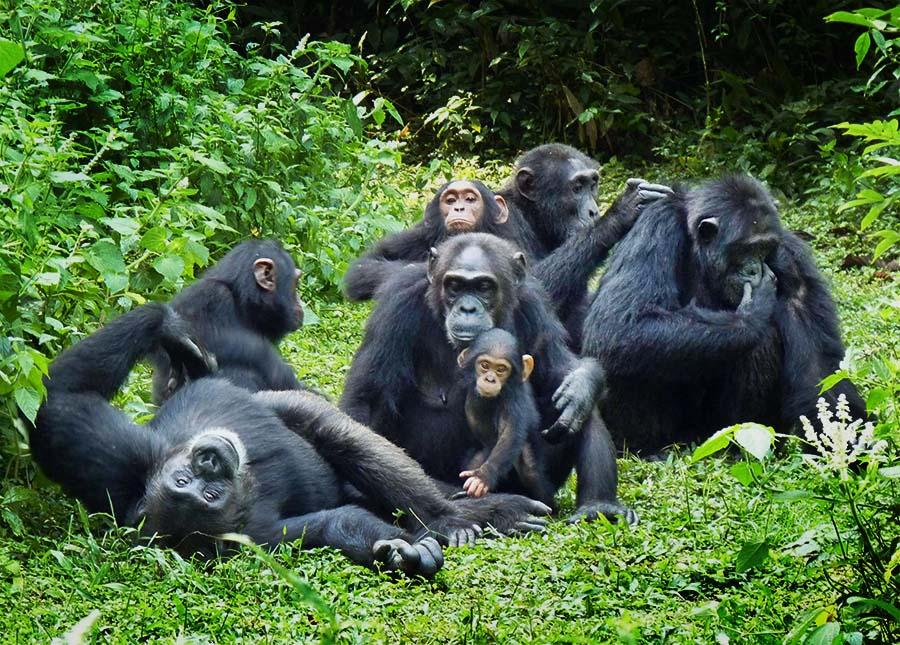 PhotoFly Travel Club | Chimpanzees- good need to crop copy | PhotoFly Travel Club