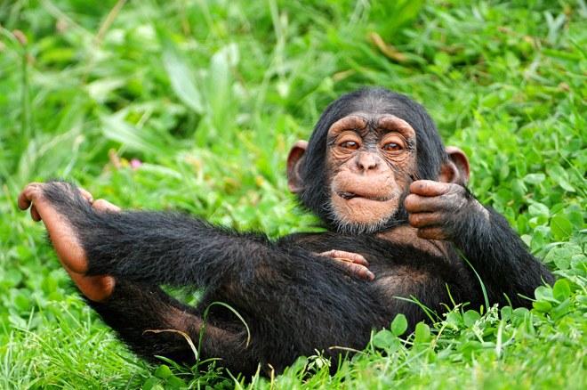 PhotoFly Travel Club | chimpanzee-baby-tambako-the-jaguar-flickr | PhotoFly Travel Club