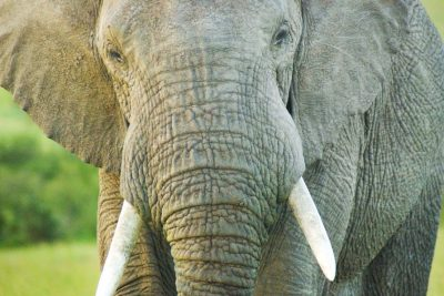 elephant in Kenya safari