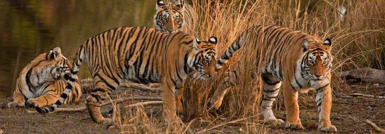 PhotoFly Travel Club | ranthambhore-tigers | PhotoFly Travel Club
