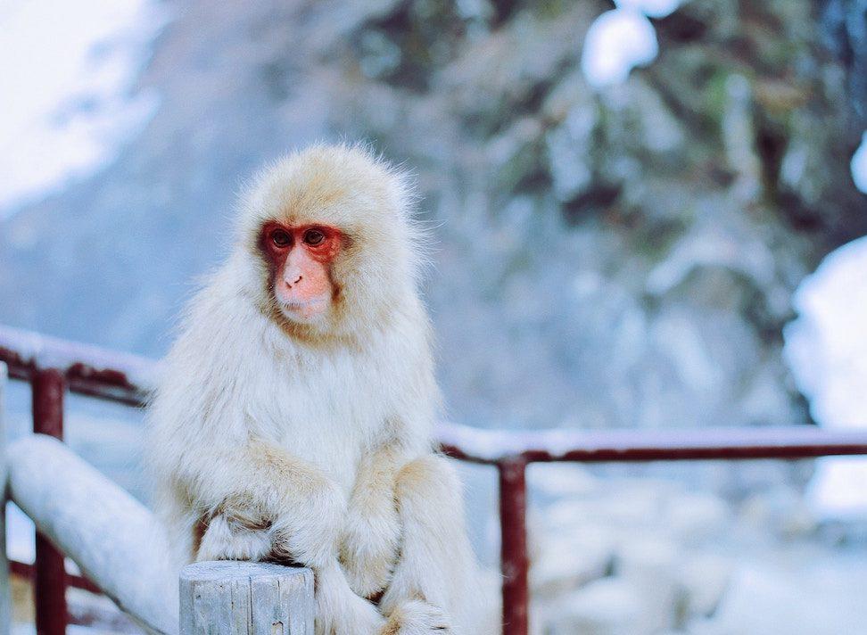 PhotoFly Travel Club   white monkey   PhotoFly Travel Club