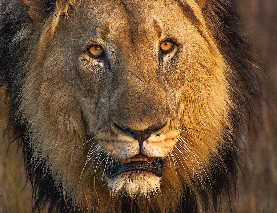 PhotoFly Travel Club | Grandfather Lion Darker Coat Ring WP | PhotoFly Travel Club