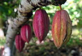 PhotoFly Travel Club | cacao | PhotoFly Travel Club
