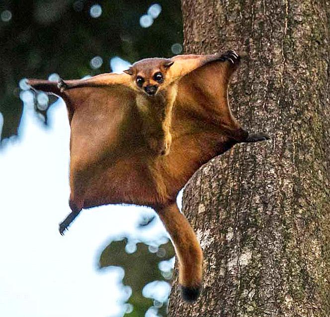PhotoFly Travel Club | Danum giant-red-flying-squirell Crop | PhotoFly Travel Club
