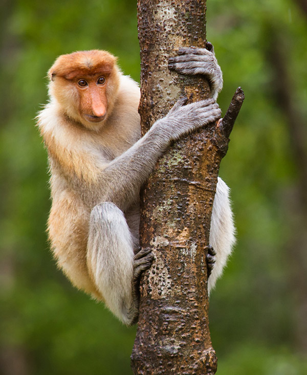 PhotoFly Travel Club   proboscis-monkey crop   PhotoFly Travel Club