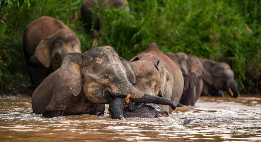 PhotoFly Travel Club | pygmy-elephants-bathing-pano | PhotoFly Travel Club