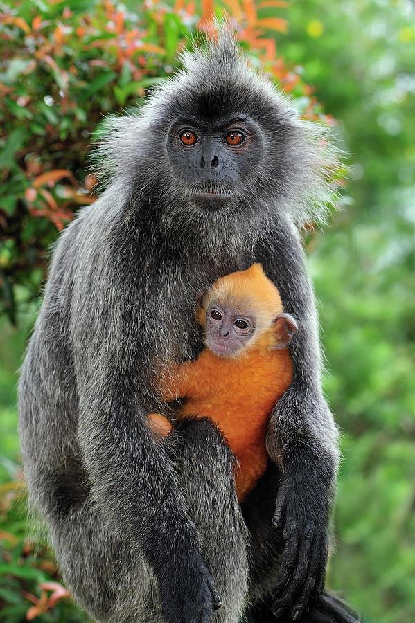 PhotoFly Travel Club | silvered-leaf-monkey-trachypithecus-thomas-marent | PhotoFly Travel Club