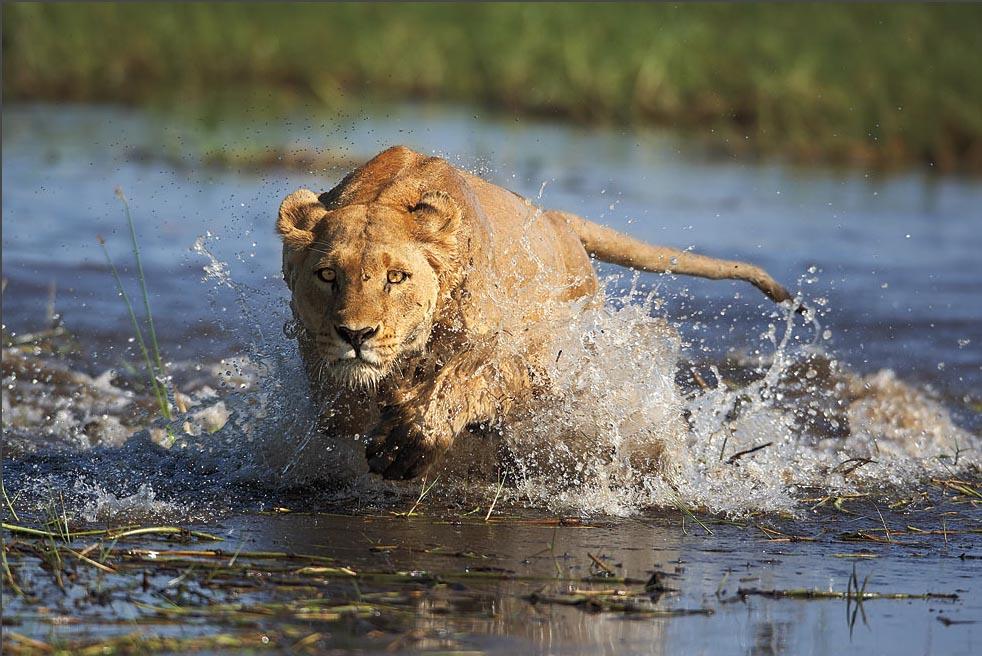PhotoFly Travel Club | Okavango_Delta_img-1 lion | PhotoFly Travel Club