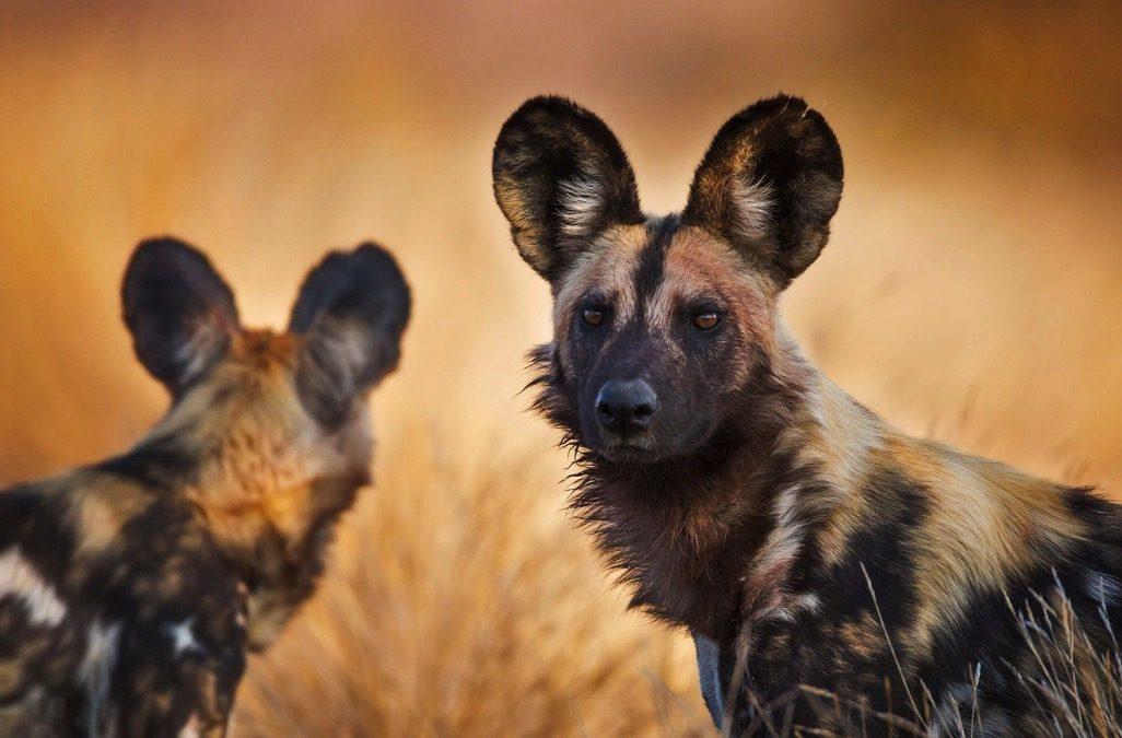 PhotoFly Travel Club | wild dogs | PhotoFly Travel Club