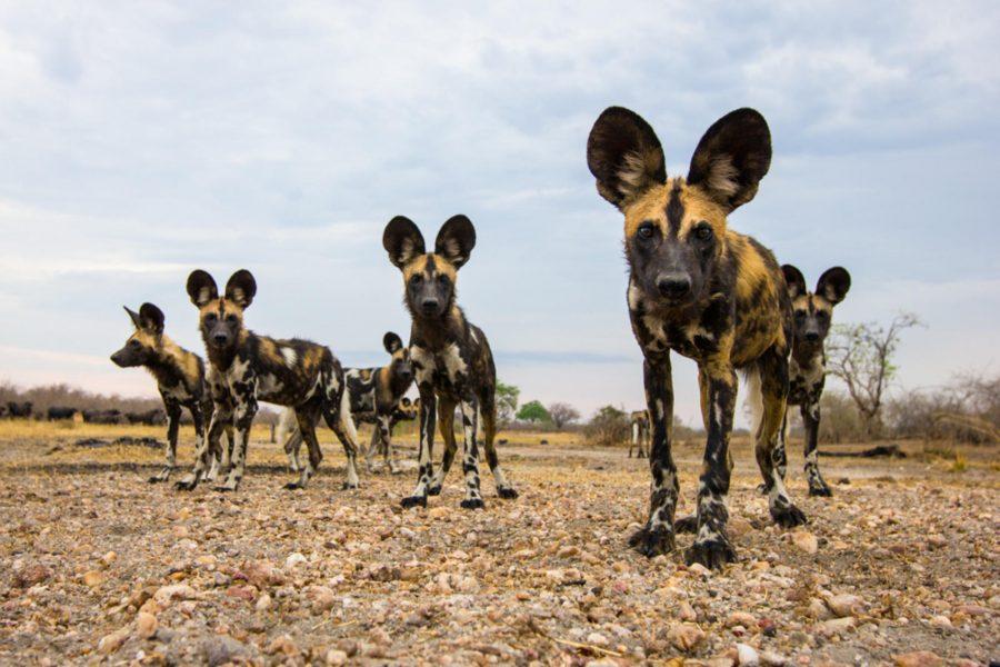 africa wild dog safaris