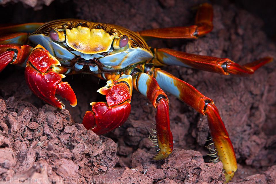 PhotoFly Travel Club   galapagos crabs   PhotoFly Travel Club